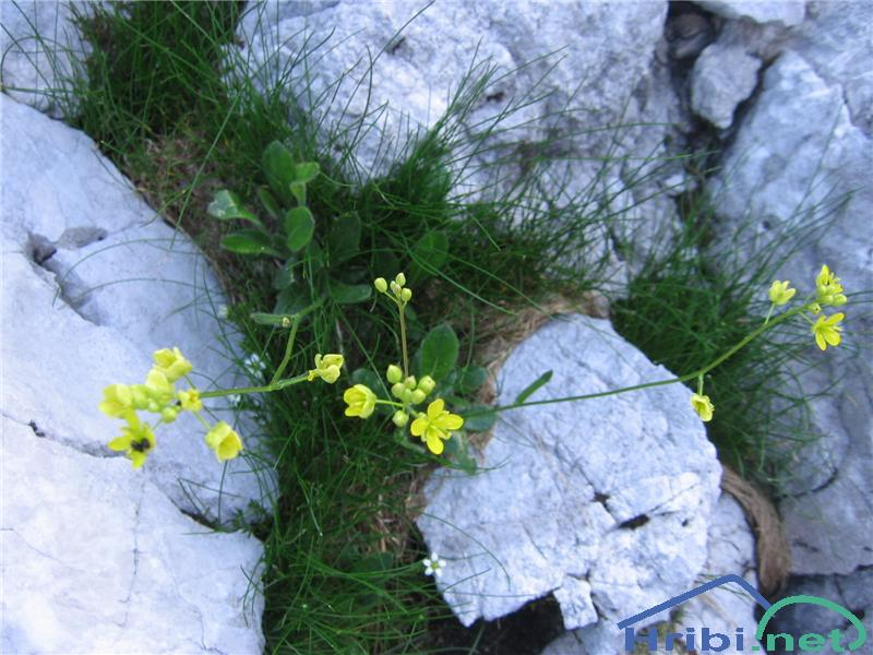 Navadna šparnica (Biscutella laevigata) - SlikaNavadna šparnica (Biscutella laevigata)