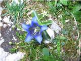 Clusijev svišč (Gentiana clusii)