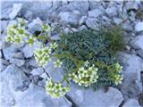 Skorjasti kamnokreč (Saxifraga crustata)