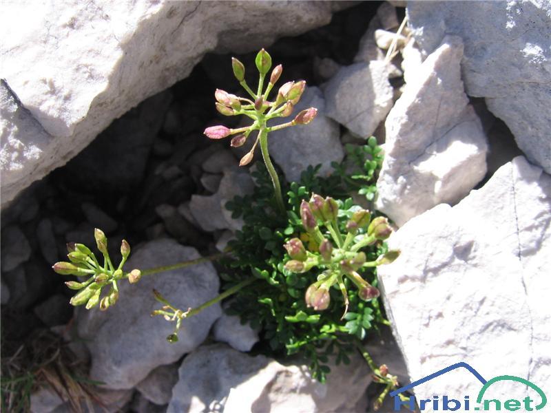 Alpska krešica (Pritzelago alpina) - SlikaAlpska krešica (Pritzelago alpina)