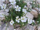 Cerastium carinzhiacum subsp. austoalpinum