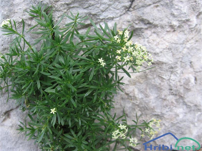 Raznolistna lakota (Galium anisophyllon) - SlikaRaznolistna lakota (Galium anisophyllon)