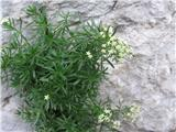Raznolistna lakota (Galium anisophyllon)