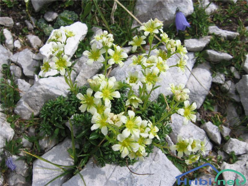 Muškatni kamnokreč (Saxifraga exarata ssp. moschata) - PictureMuškatni kamnokreč (Saxifraga exarata ssp. moschata)