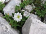 Južnoalpska ali koroška smiljka (Cerastium carinthiacum)