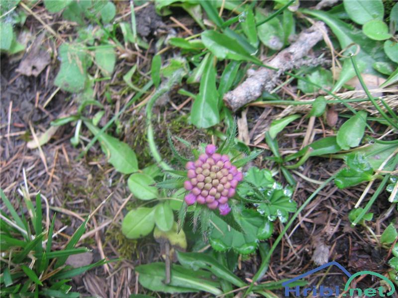 Bleščeči grintavec (Scabiosa lucida) - SlikaBleščeči grintavec (Scabiosa lucida)