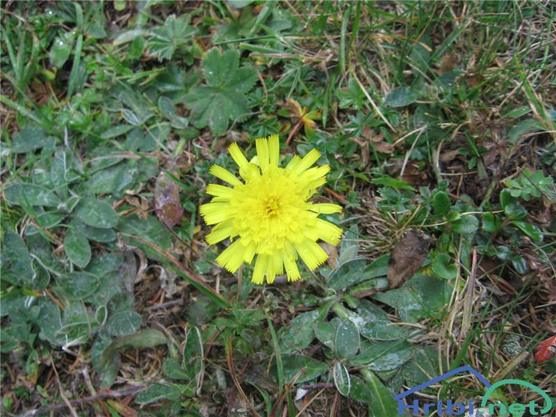 Porovolistna škržolica (Hieracium porrifolium) - PicturePorovolistna škržolica (Hieracium porrifolium)