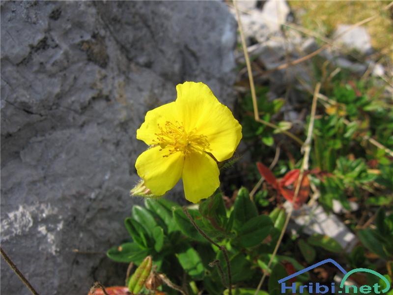 Planinski popon ali planinsko sončece (Helianthemum alpestre) - SlikaPlaninski popon ali planinsko sončece (Helianthemum alpestre)