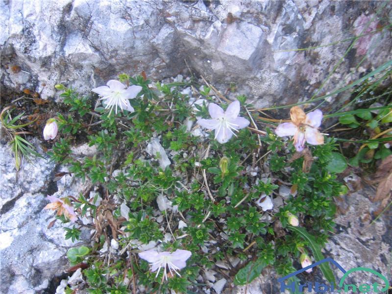 Navadni slečnik (Rhodothamnus chamaecistus) - SlikaNavadni slečnik (Rhodothamnus chamaecistus)