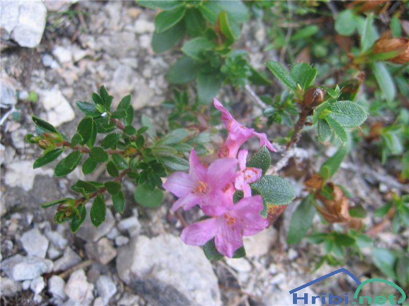 Dlakavi sleč (Rhododendron hirsutum) - PictureDlakavi sleč (Rhododendron hirsutum)