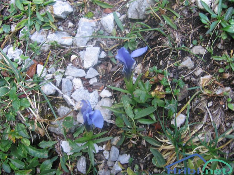 Resasti sviščevec (Gentianella ciliata) - SlikaResasti sviščevec (Gentianella ciliata)