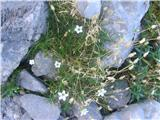 Avstrijska črvinka (Minuartia austriaca)