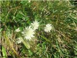 Bavarski zali kobulček (Astrantia bavarica)
