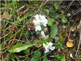 Bohinjski repnjak (Arabis vochinensis)
