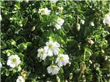 Enocvetna smiljka (Cerastium uniflorum)