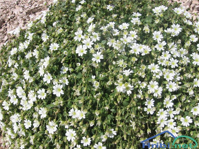 Enocvetna smiljka (Cerastium uniflorum) - PictureEnocvetna smiljka (Cerastium uniflorum)