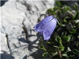 še malo gorskega cvetja