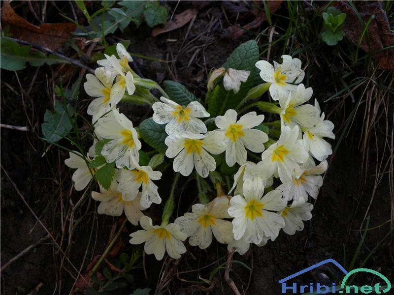 Navadni jeglič ali trobentica (Primula vulgaris) - SlikaTrobentice, slikane aprila na Medvedjem Brdu.