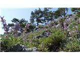 Osorščica - Sv. Nikolaj in Televrinav tem času po Osorščici cveti kadulja