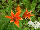 Sveta Ana (Ljubelj)Brstična lilija