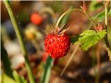 Ljubelj - Koča VrtačaGozdna jagoda