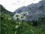 Veliki vrh (Košuta)2019.07.10.16 navadna ivanjščica