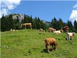 Veliki vrh (Košuta)2019.07.10.191 govedo in Košutica