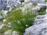 Juncus monanthos