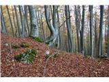Kojca (1303m)Listje je skoraj skril potko,je pa dobro označeno.