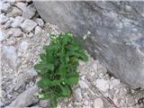 Alpine rock-cress (Arabis alpina)